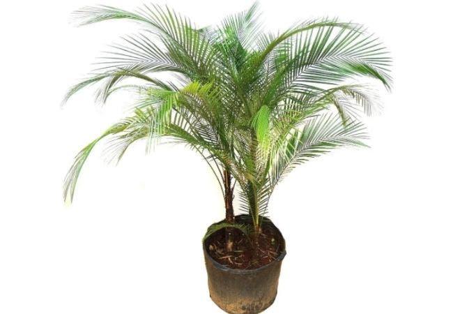palmier bresil