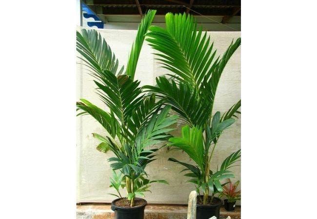 palmier pinanga