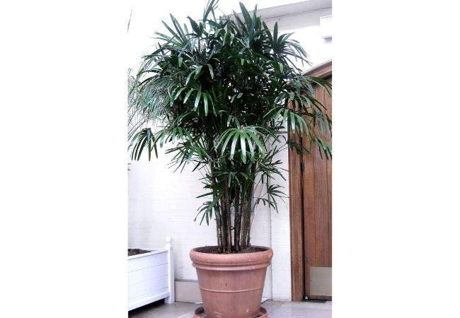 palmier rhapis